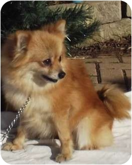 pomeranian puppy chicago kelsi adopted dog west chicago il pomeranian mix 6452