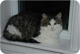 Domestic Mediumhair Cat for adoption in Auburn, California - Yolanda