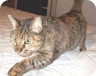 Domestic Mediumhair Cat for adoption in Miami, Florida - Mamacita