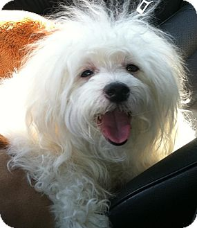 Maltese/Poodle (Miniature) Mix Dog for adoption in Studio City, California - Benji