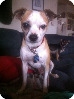 ... Terrier/Chihuahua Mix Dog for adoption in El Paso, Texas - Mickey