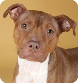 American Pit Bull Terrier/American Staffordshire Terrier Mix Dog for adoption in Chicago, Illinois - Hope