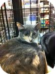 Domestic Shorthair Kitten for adoption in Pittstown, New Jersey - Tuck
