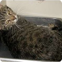 Adopt A Pet :: Spangles - Dallas, TX