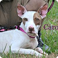 Adopt A Pet :: Caroline - Albemarle, NC