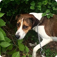 Beagle/Hound (Unknown Type) Mix Dog for adoption in Ozark, Alabama - Daisy