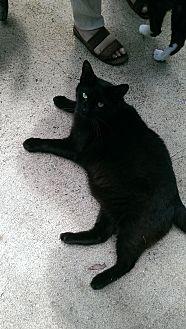 Domestic Shorthair Cat for adoption in Bonita Springs, Florida - Kato