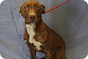 Pit Bull Terrier Mix Dog for adoption in Greensboro, North Carolina - Mickey
