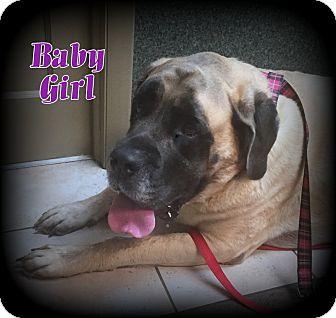English Mastiff Dog for adoption in Denver, North Carolina - Baby Girl