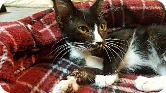 Domestic Shorthair Kitten for adoption in Yucca Valley, California - Checkers