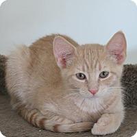 Adopt A Pet :: Greg - Kitten - Harrisburg, PA