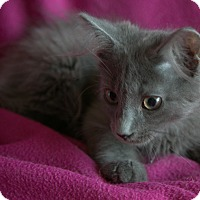 Russian Blue Kitten for adoption in Staunton, Virginia - Slate