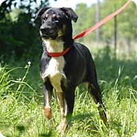 Australian Cattle Dog/Doberman Pinscher Mix Dog for adoption in Liberty, Missouri - Beckham