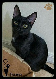 Domestic Shorthair Kitten for adoption in Orlando, Florida - Hermes (JC) 5.16.16