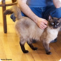 Siamese Cat for adoption in Chattanooga, Tennessee - Murphy