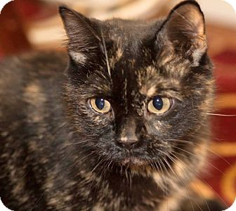 Domestic Shorthair Cat for adoption in Brooklyn, New York - Mabel the Sweetest Tortie