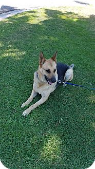 German Shepherd Dog Dog for adoption in San Diego, California - Thoren