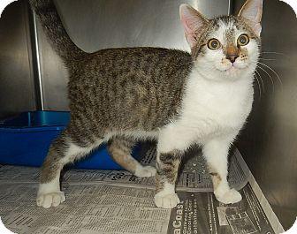 Domestic Shorthair Kitten for adoption in Newport, North Carolina - Brian