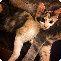 Calico Kitten for adoption in Georgetown, Texas - Colleen