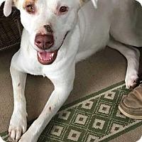 Adopt A Pet :: Meredith - Boston, MA