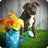 Adopt A Pet :: Bella - Lake Panasoffkee, FL