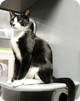 Domestic Shorthair Cat for adoption in Wayne, New Jersey - Baran