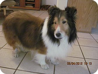 Sheltie, Shetland Sheepdog Dog for adoption in apache junction, Arizona - Lady