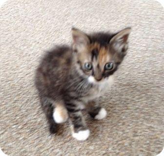 Calico Kitten for adoption in Orlando, Florida - Calico