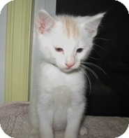 Domestic Shorthair Kitten for adoption in Shelton, Washington - Allister