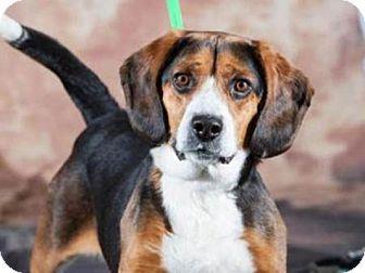 Beagle Mix Dog for adoption in Novi, Michigan - Valentine