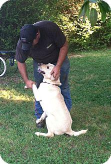 Labrador Retriever/Retriever (Unknown Type) Mix Dog for adoption in Indian Trail, North Carolina - CowBoy