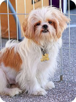 Shih Tzu/Maltese Mix Dog for adoption in Los Angeles, California - FRANCO