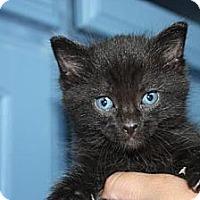Adopt A Pet :: Ninja - Stilwell, OK