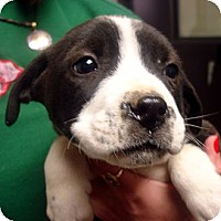 Adopt A Pet :: Prancer - baltimore, MD