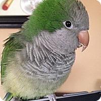 Adopt A Pet :: Kiwi - St. Louis, MO