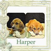 Adopt A Pet :: Harper-pending adoption - East Hartford, CT