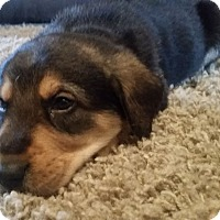 Adopt A Pet :: George - Knoxville, TN