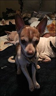 Chihuahua Mix Dog for adoption in Brooksville, Florida - Prince