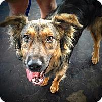 Adopt A Pet :: Duke - Memphis, TN
