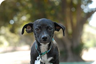 Dachshund/Chihuahua Mix Puppy for adoption in Los Angeles, California - Rupert