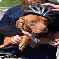 Adopt A Pet :: IVY - Atlanta, GA