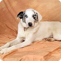 Adopt A Pet :: Chloe Aussie - St. Louis, MO