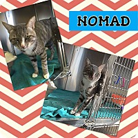 Domestic Shorthair Cat for adoption in Edwards AFB, California - Nomad
