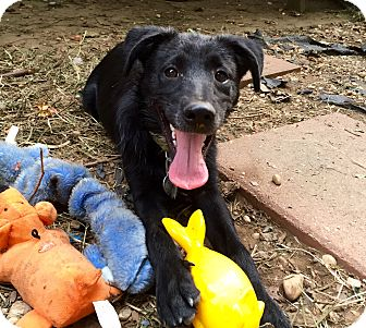 Labrador Retriever/Blue Heeler Mix Puppy for adoption in Wilmington, Delaware - Cailee