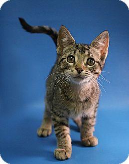Domestic Shorthair Kitten for adoption in Overland Park, Kansas - Leo