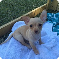 Chihuahua Puppy for adoption in Tempe, Arizona - Kirby