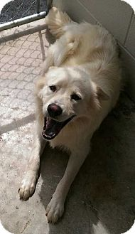 Chow Chow Mix Dog for adoption in Lexington, Tennessee - Grace