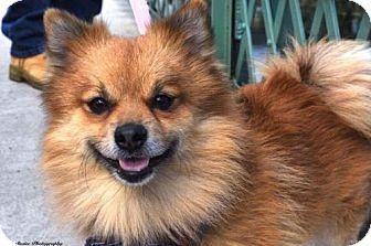 Pomeranian Dog for adoption in NYC, New York - Parsley Pom
