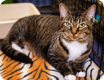 Domestic Shorthair Cat for adoption in Mooresville, North Carolina - A..  India