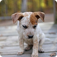 Adopt A Pet :: Speck - Harrisonburg, VA